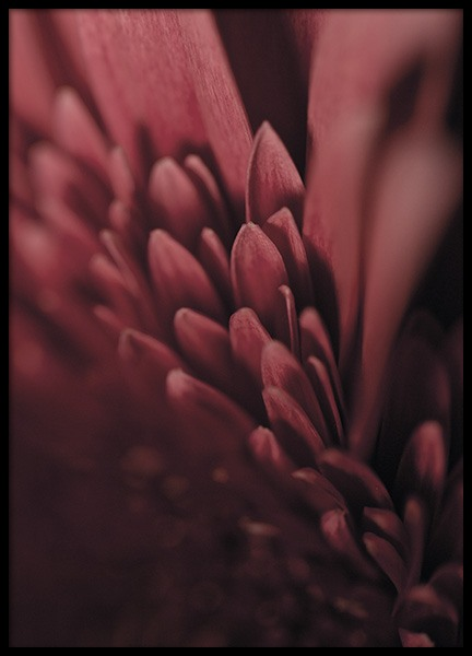 Burgundy Flower Close Up Plakat w grupie Plakaty / Fotografia w Desenio AB (11188)